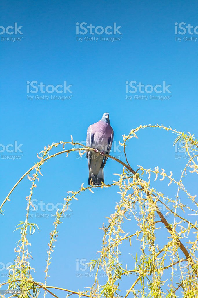 Common wood pigeon bird perched on weeping willow branch stock photo