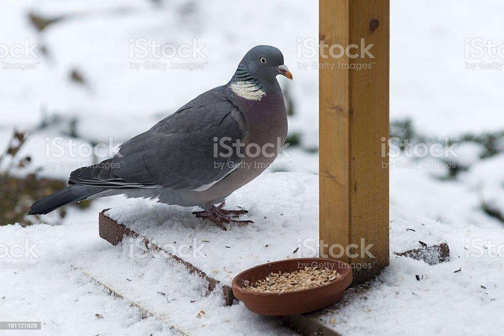 common wood pigeon [Columba palumbus] stock photo