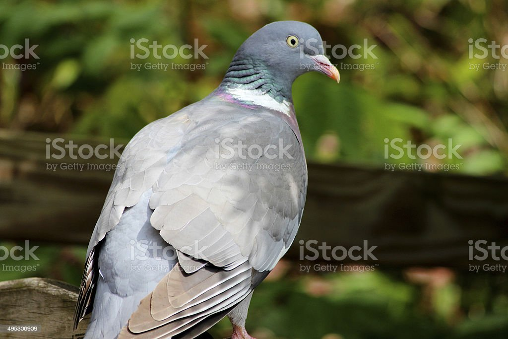 Common wood pigeon perched in garden (Columba palumbus / Culver dove) stock photo
