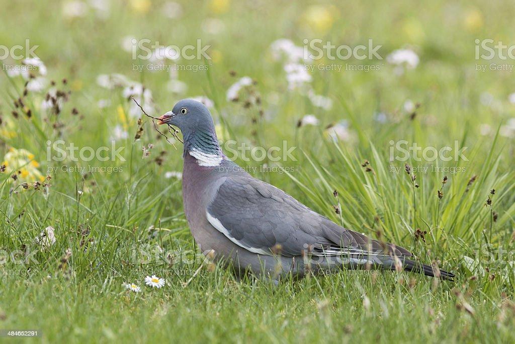Common Wood Pigeon (Columba palumbus) stock photo