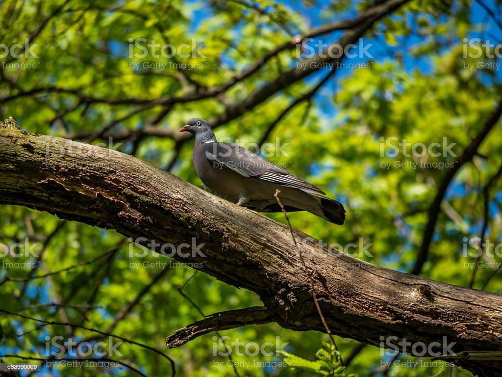 Common wood pigeons (Columba palumbus) on a tree stock photo