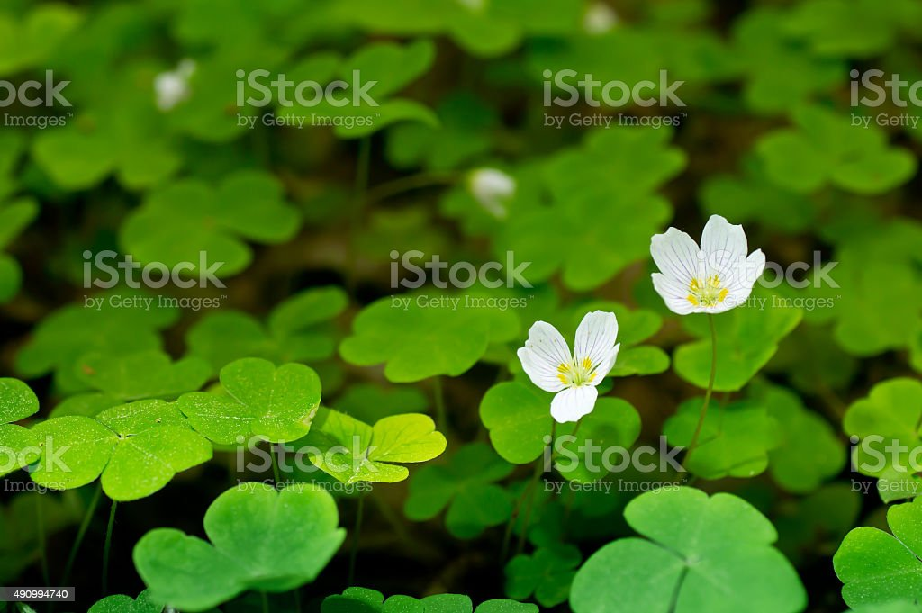 Common wood sorrel blossom (Oxalis acetosella) and leaves are edible stock photo