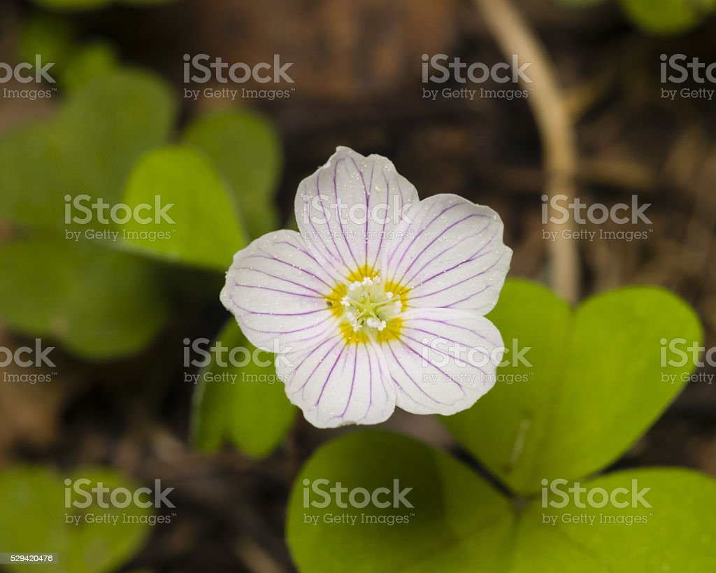 Common Wood Sorrel, Oxalis acetosella, flowers macro with leaves defocused stock photo