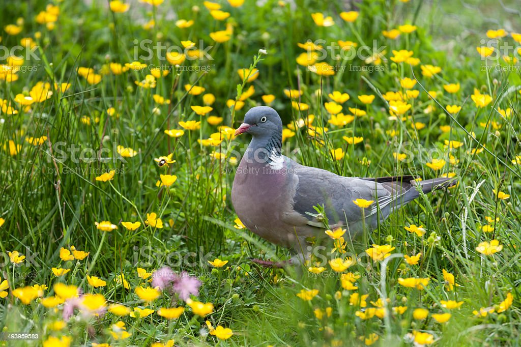 Common Woodpigeon (Columba palumbus) among Buttercups stock photo
