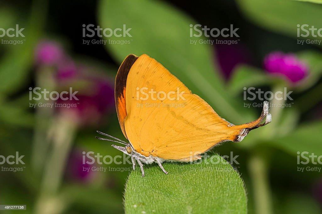 Common Yamfly Butterfly stock photo