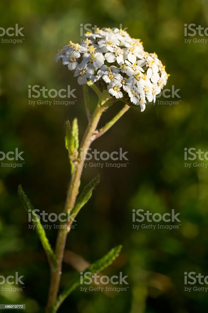 Common yarrow white blossom Achillea millefolium stock photo