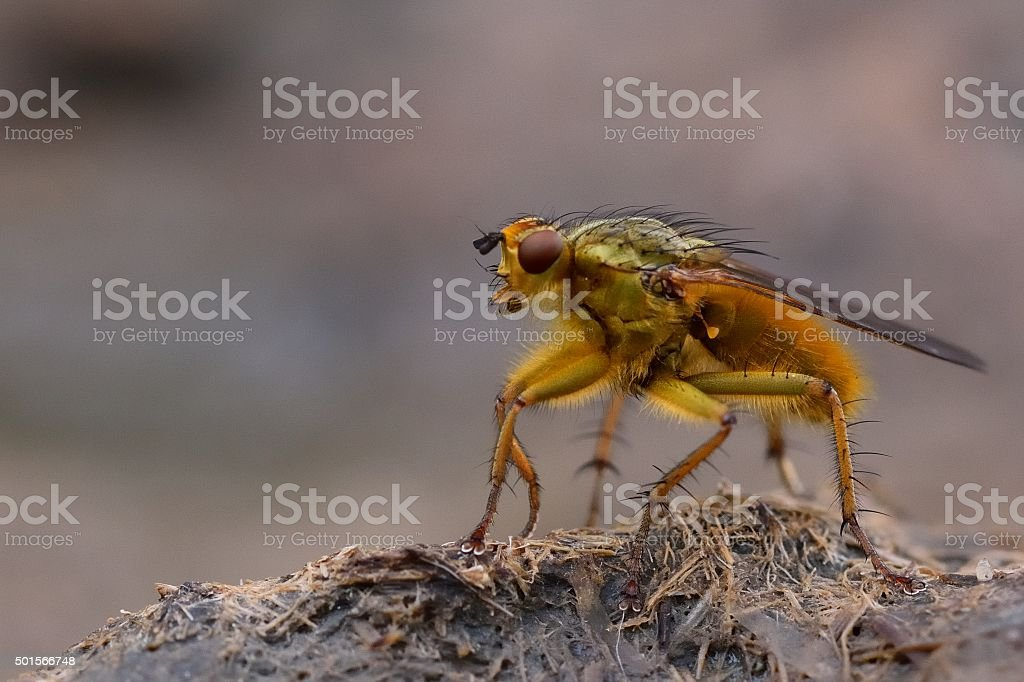 Common yellow dung fly (Scathophaga stercoraria) standing on cow pat stock photo