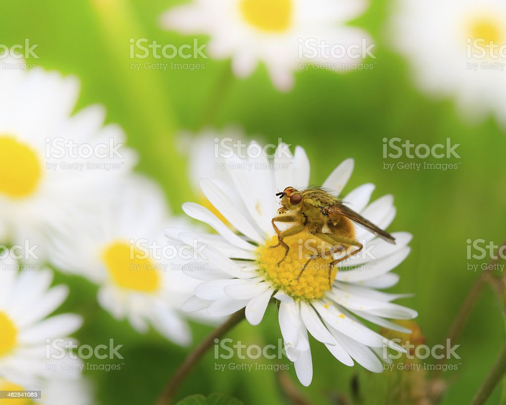 Common Yellow Dung-fly. stock photo