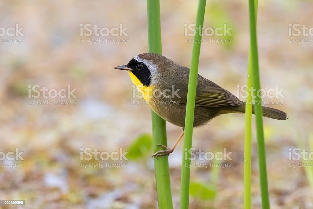Common Yellowhtroat in a Florida Marsh During Spring Migration stock photo
