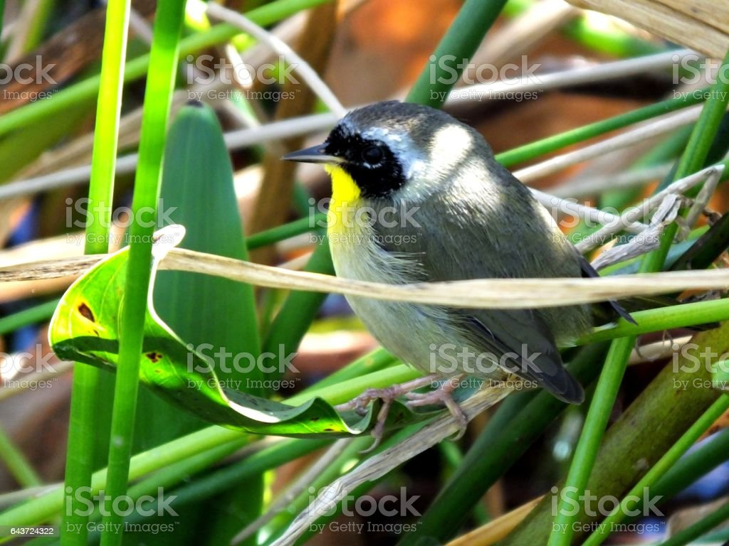 Common Yellowthroat (Geothlypis trichas) stock photo
