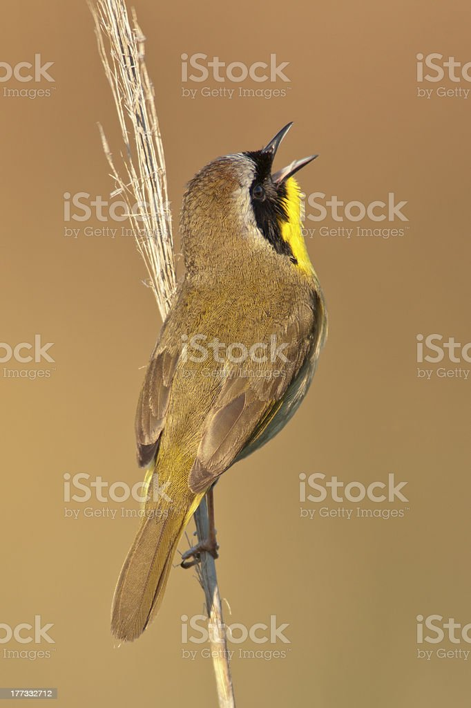 Common Yellowthroat Singing stock photo
