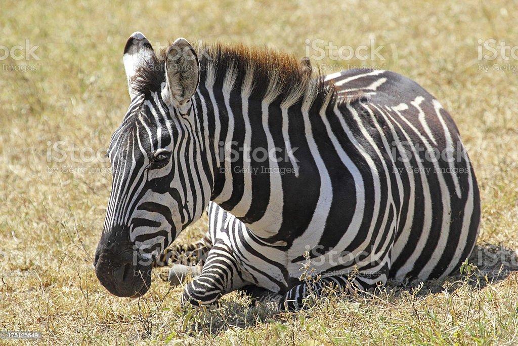 Common zebra lying royalty-free stock photo