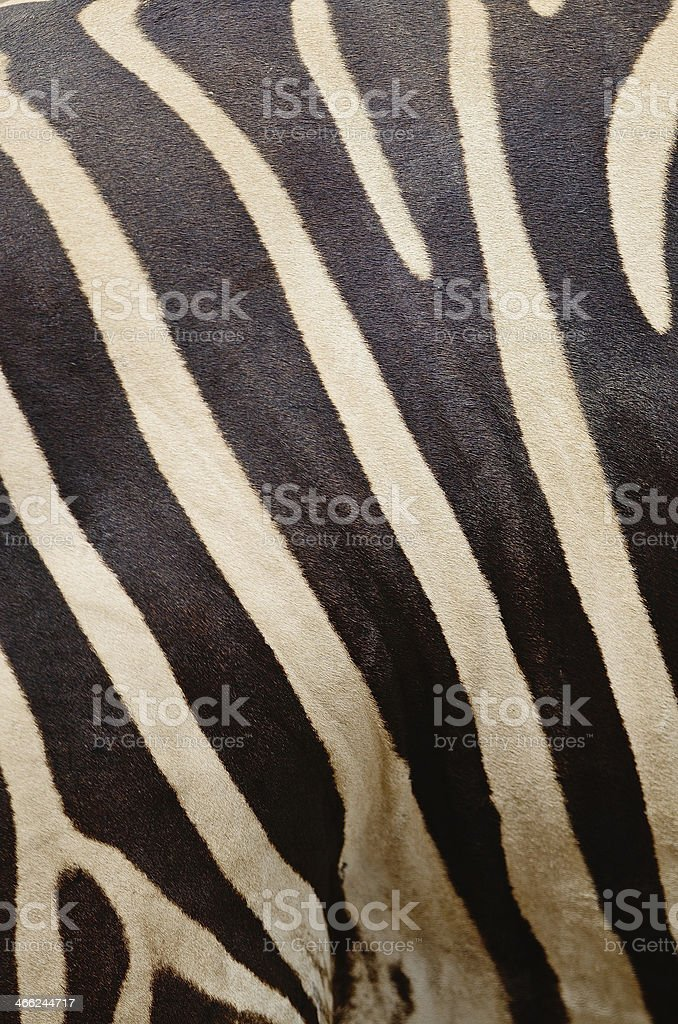 Common Zebra royalty-free stock photo