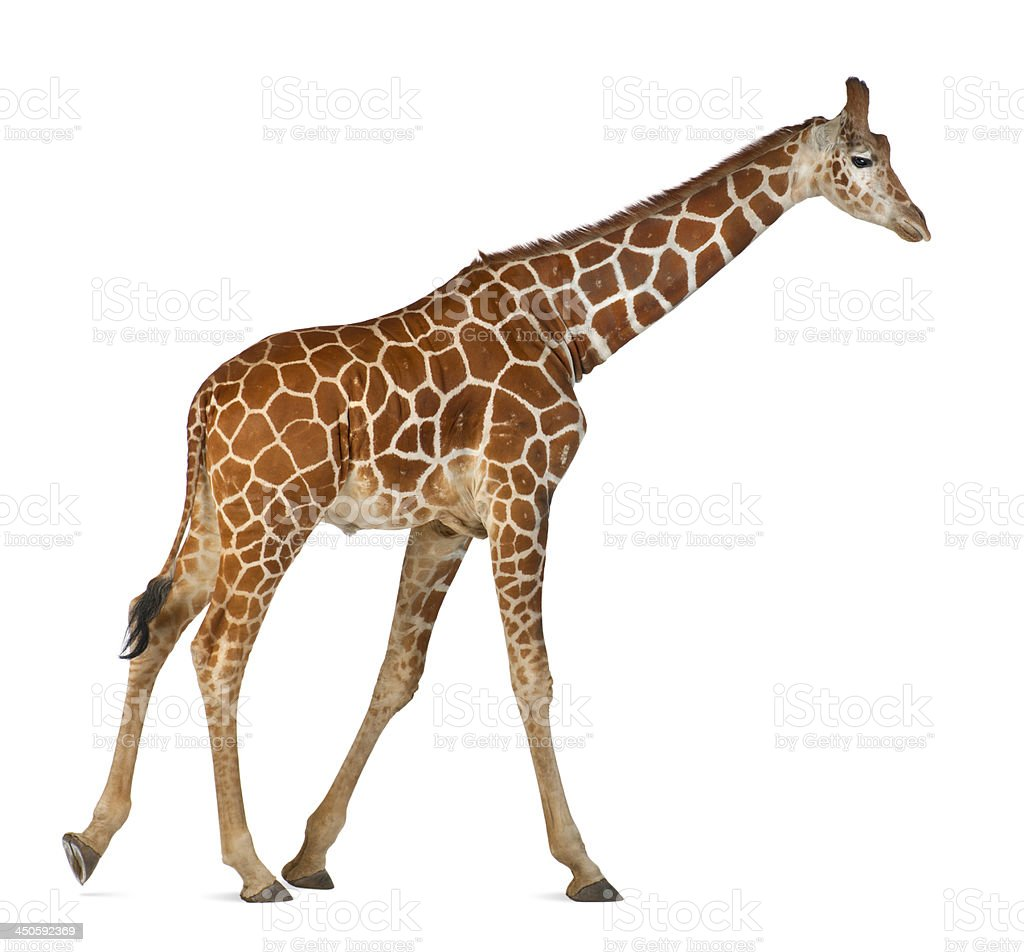 commonly known as Reticulated Giraffe, Giraffa camelopardalis stock photo