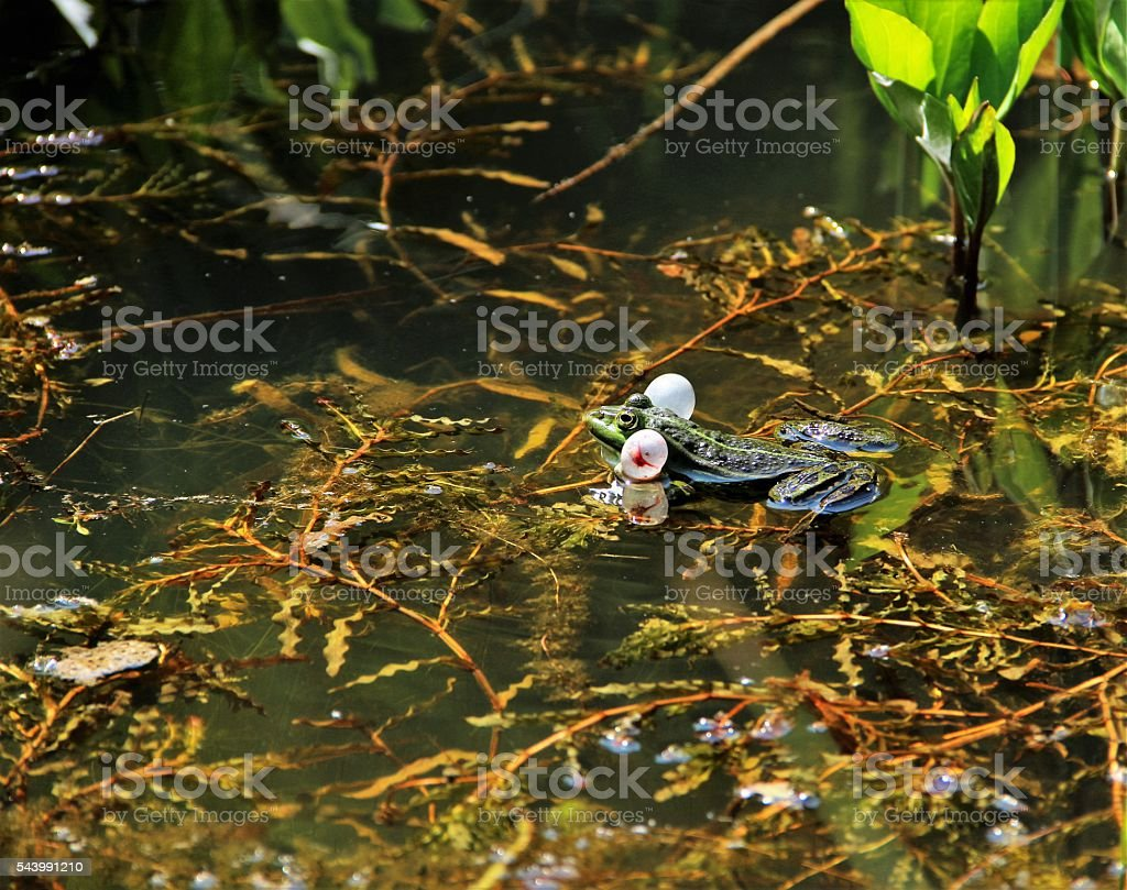 Communicating Water Frog (Pelophylax) stock photo
