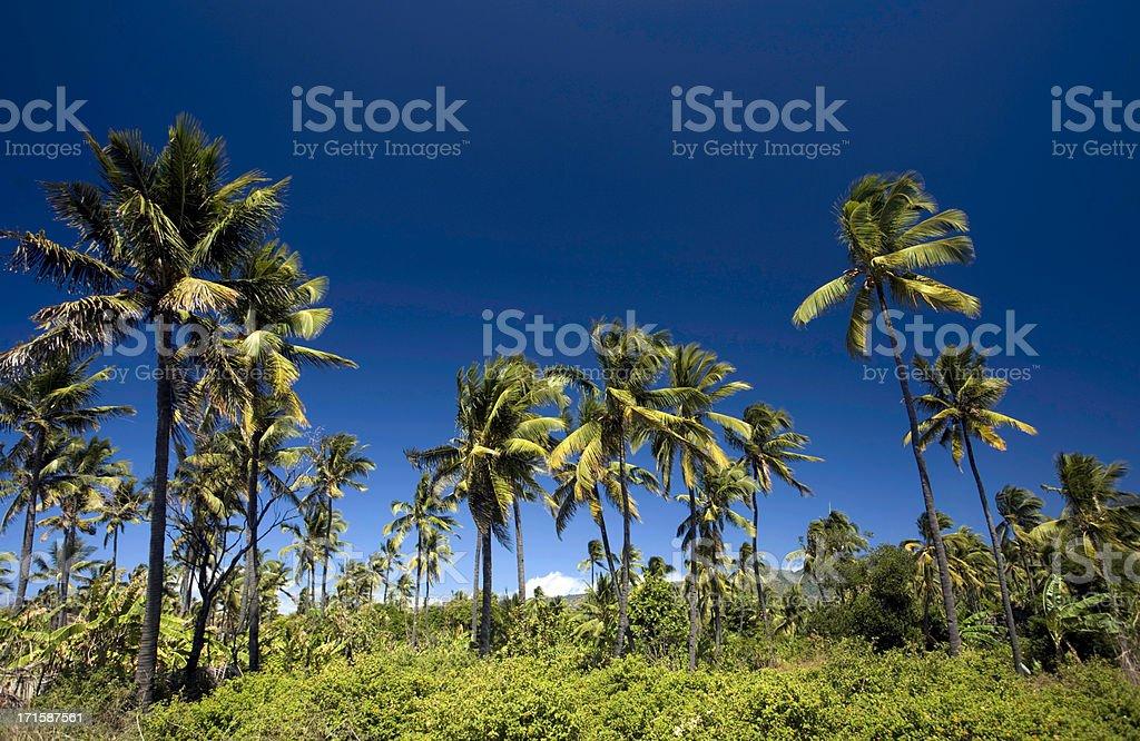 Comoros, Anjouan, coconut grove. stock photo