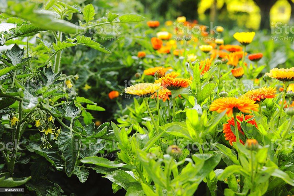 Companion Planting, Calendula and Tomato Plants stock photo