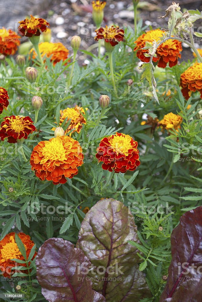 Companion Planting with Marigolds royalty-free stock photo
