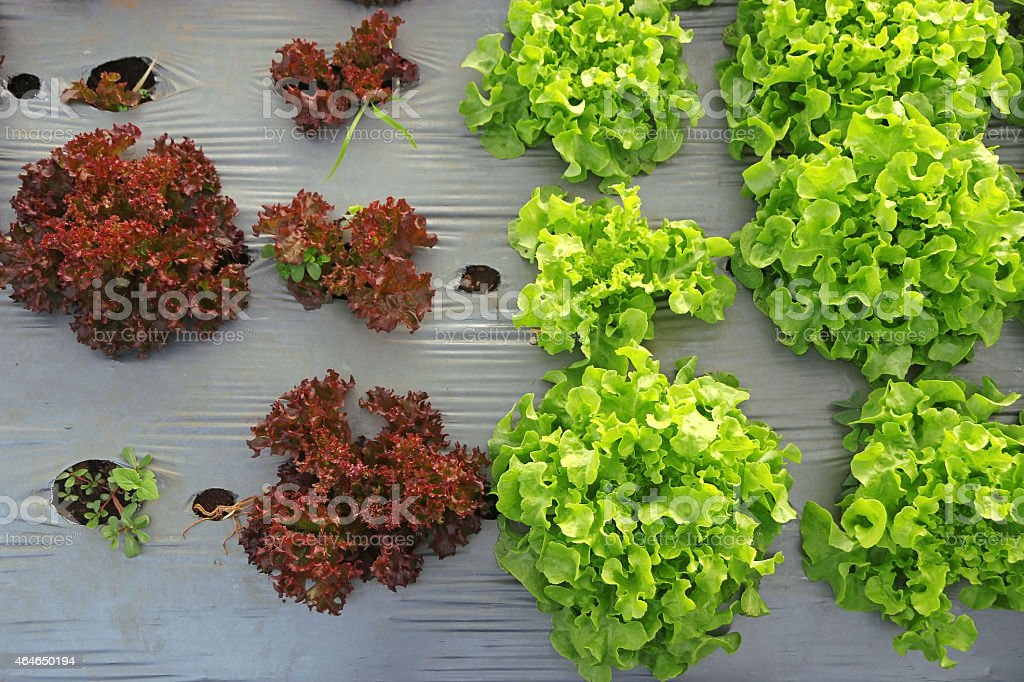 Comparison between big young Green and small red lettuce stock photo