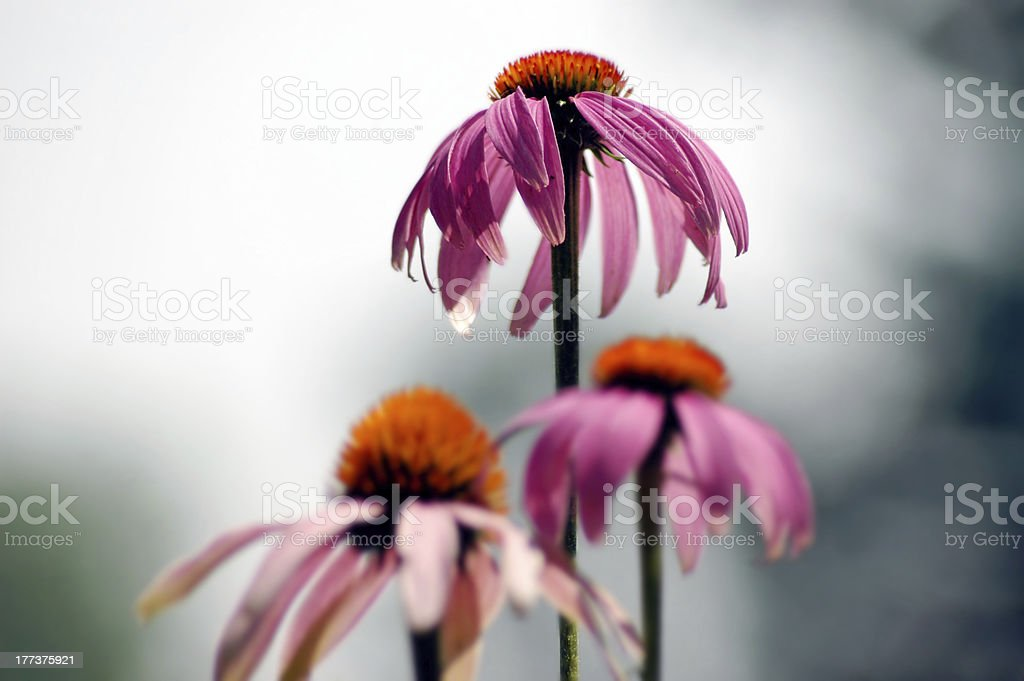 Competitive Flowers royalty-free stock photo
