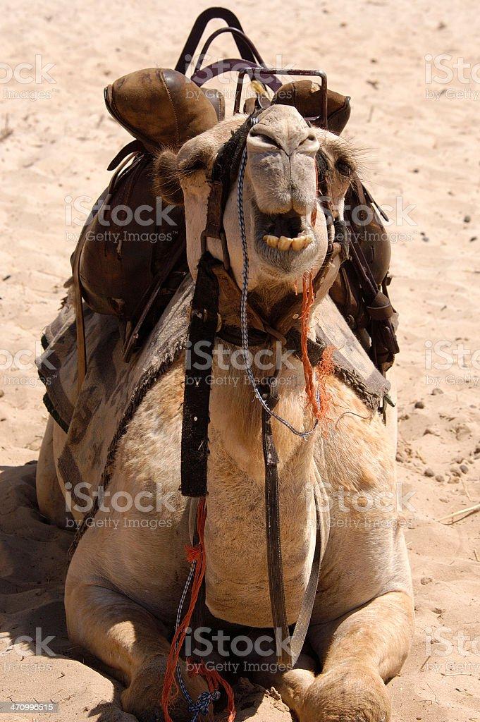 Complaining Camel royalty-free stock photo