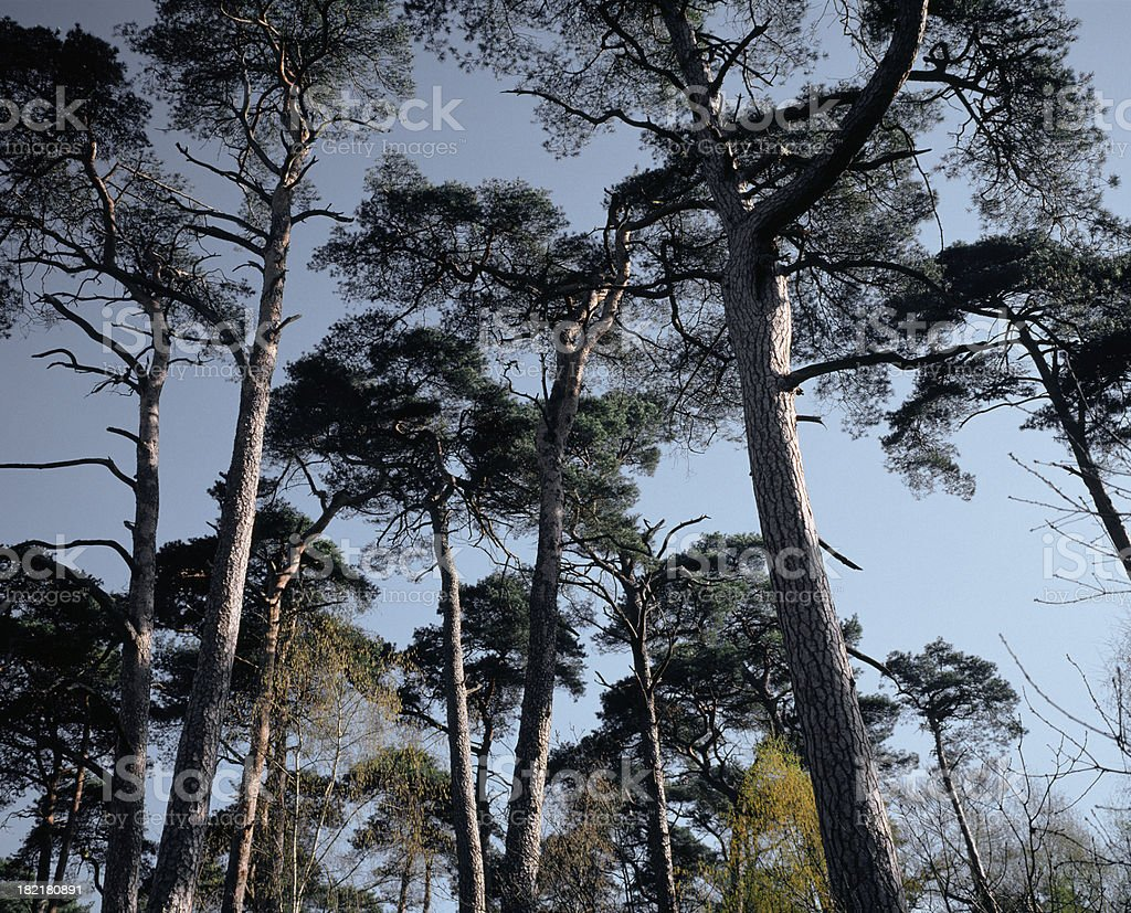 Composition of pine trees. stock photo