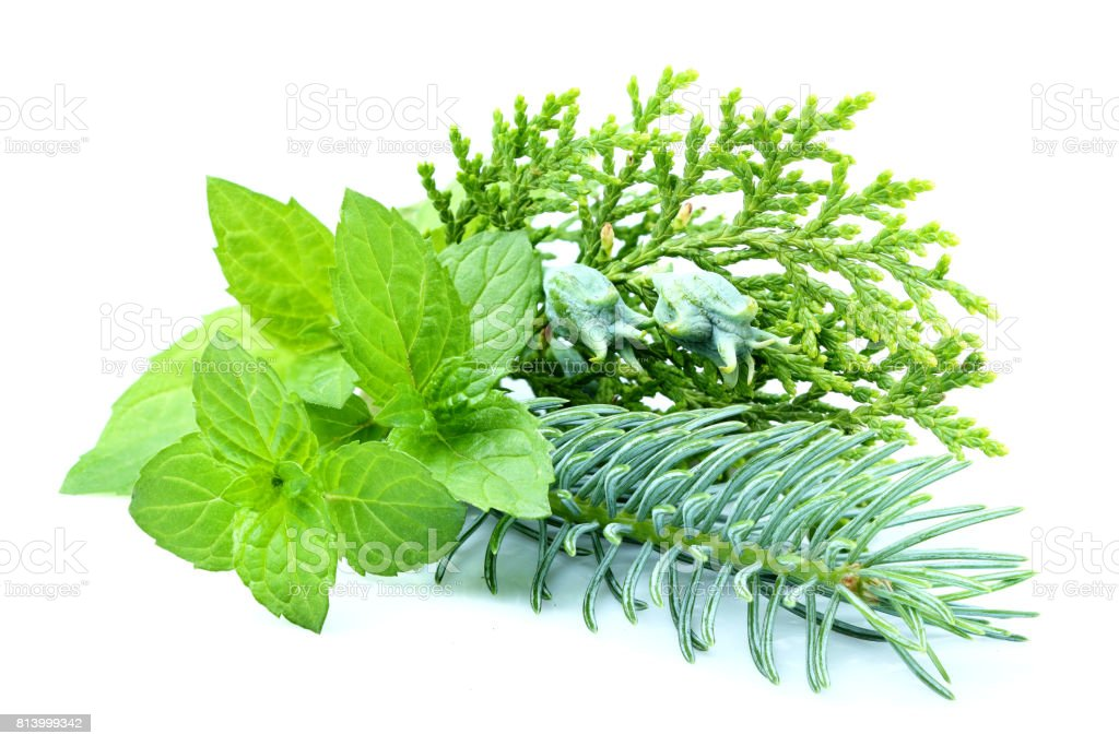 Composition of spruce.Spruce,fir,juniper,mint isolated. stock photo