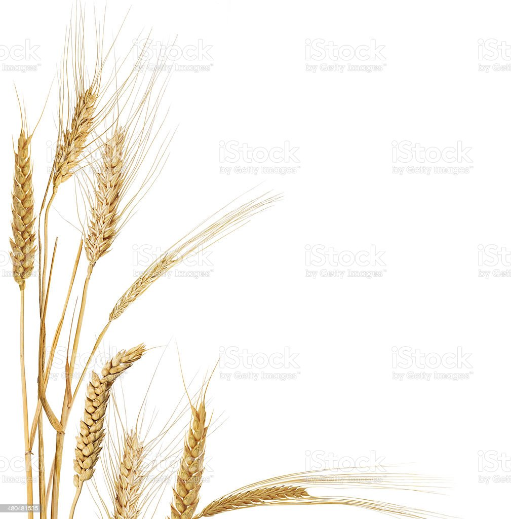 composition with isolated corner from ears of cereals stock photo