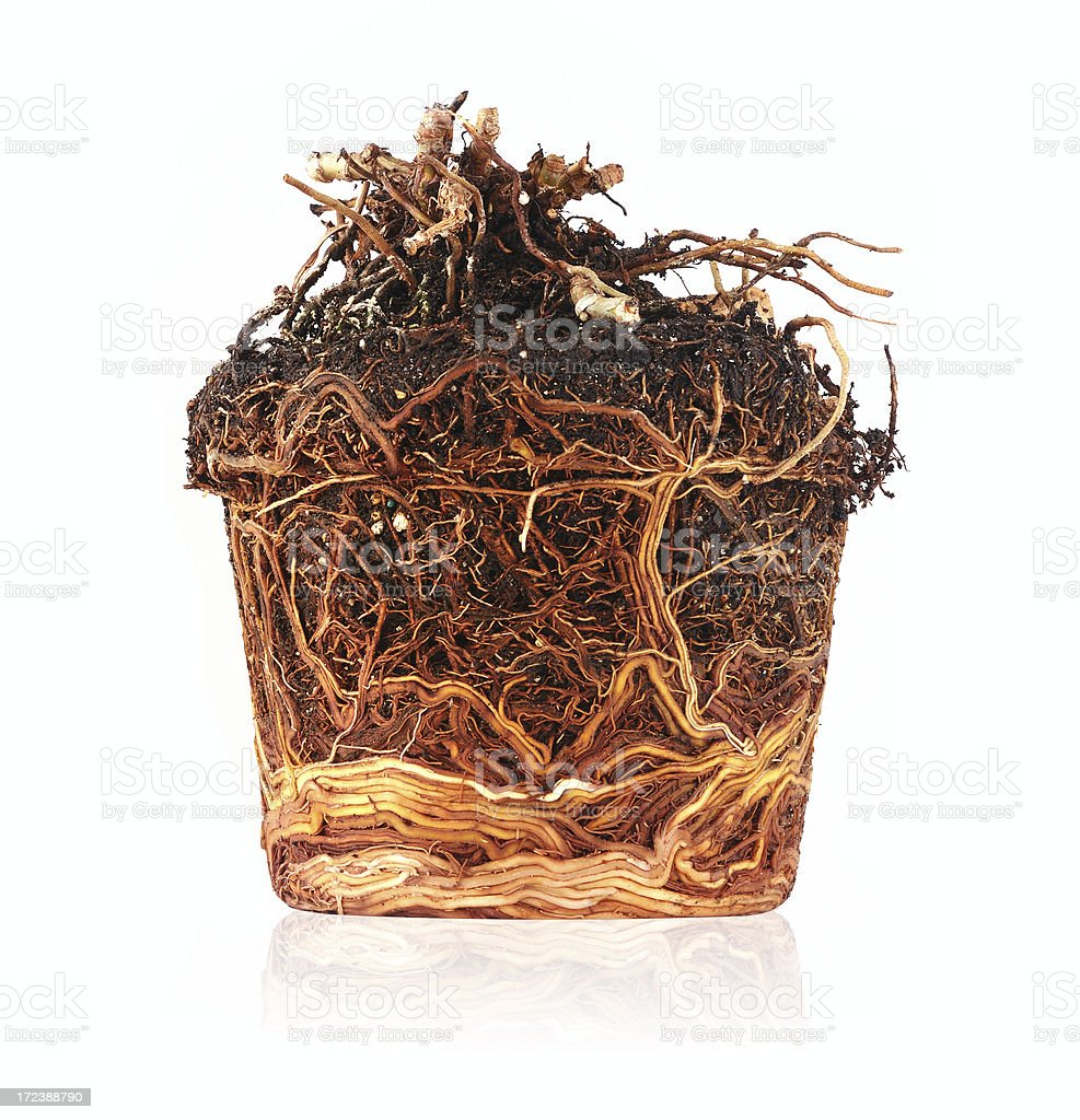 compressed and pot shaped roots royalty-free stock photo