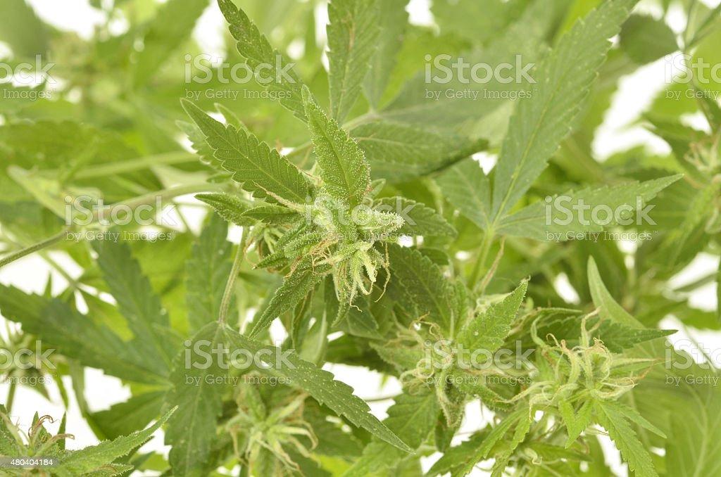Compromised wild hemp stock photo