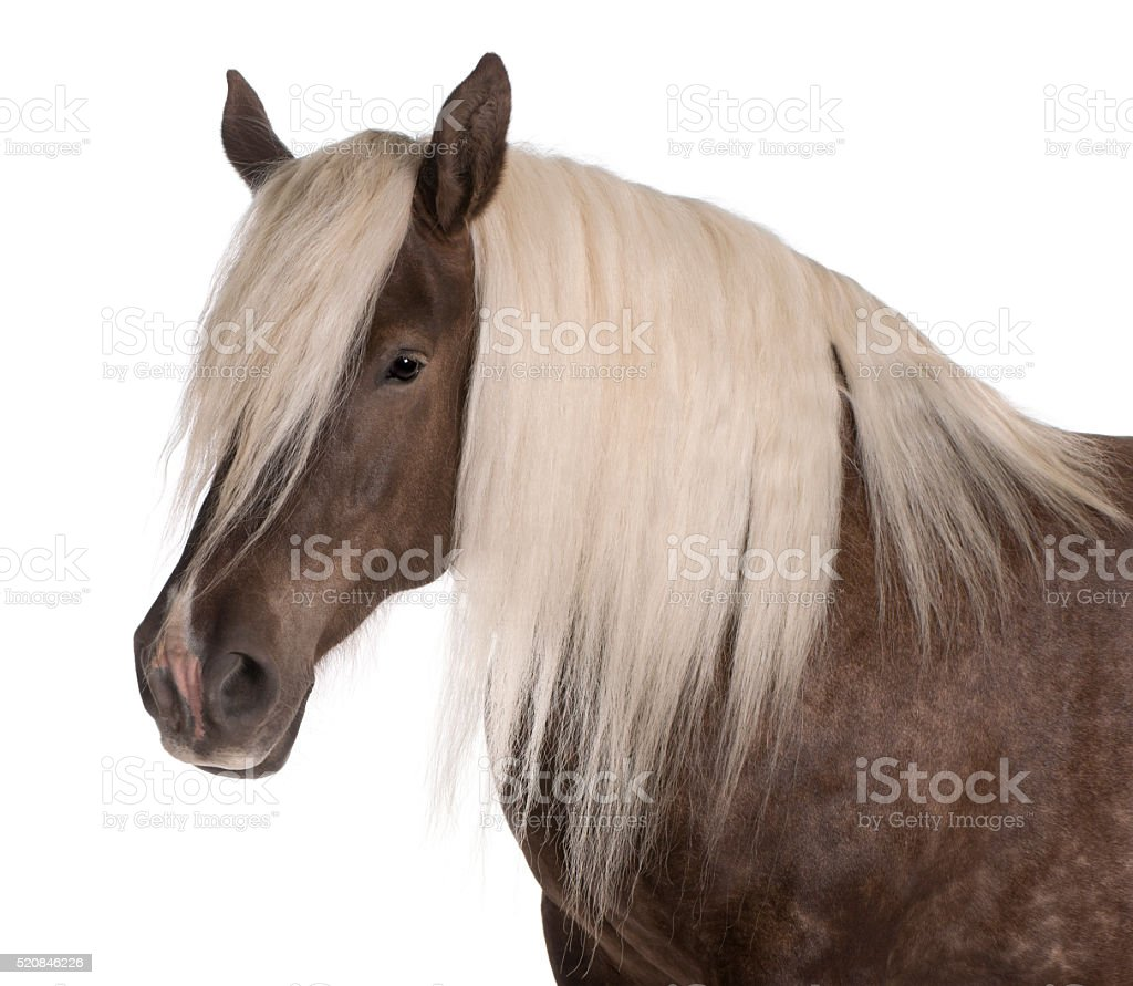 Comtois horse, a draft horse, Equus caballus, 10 years old, stock photo