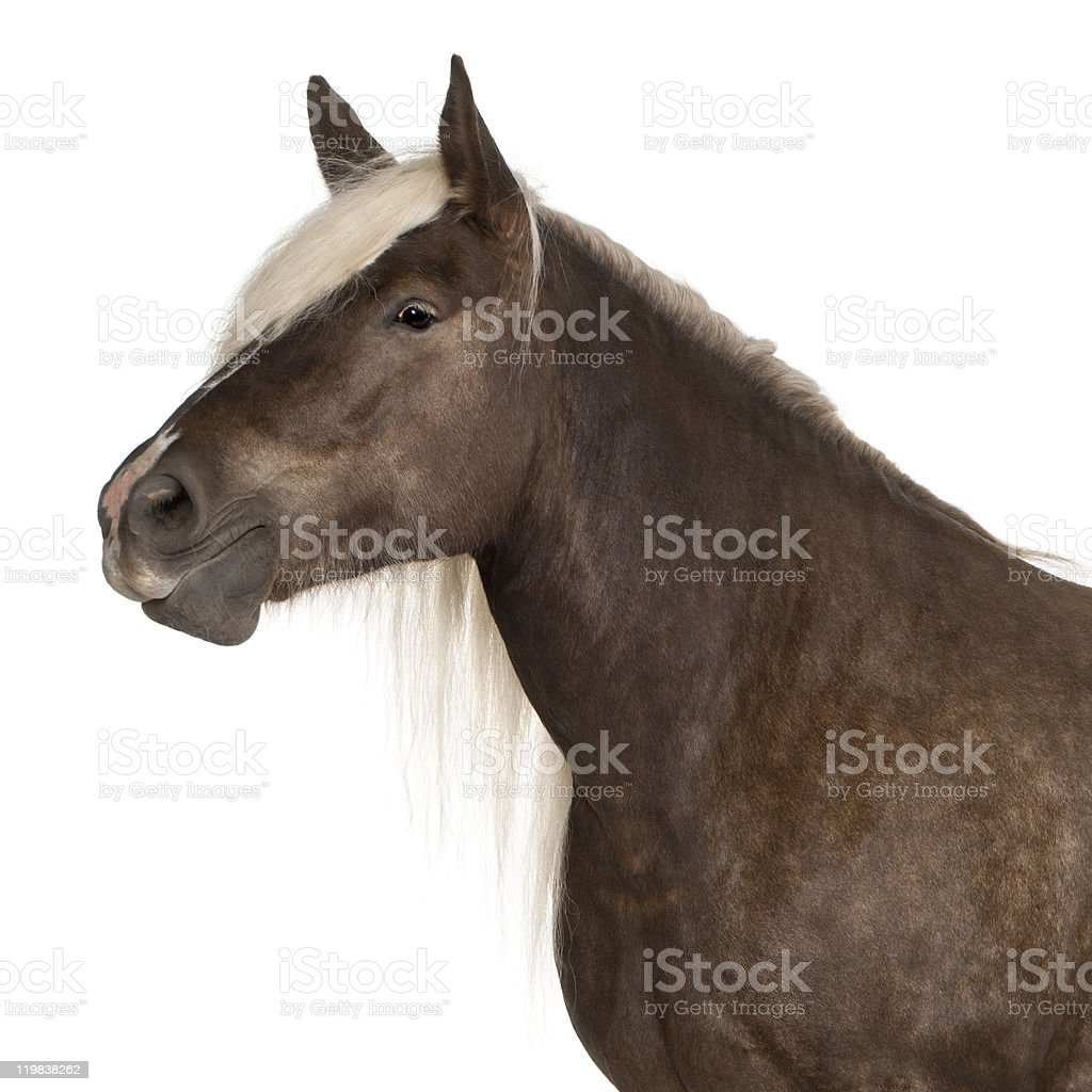 Comtois horse, Equus caballus, 10 years old, white background royalty-free stock photo