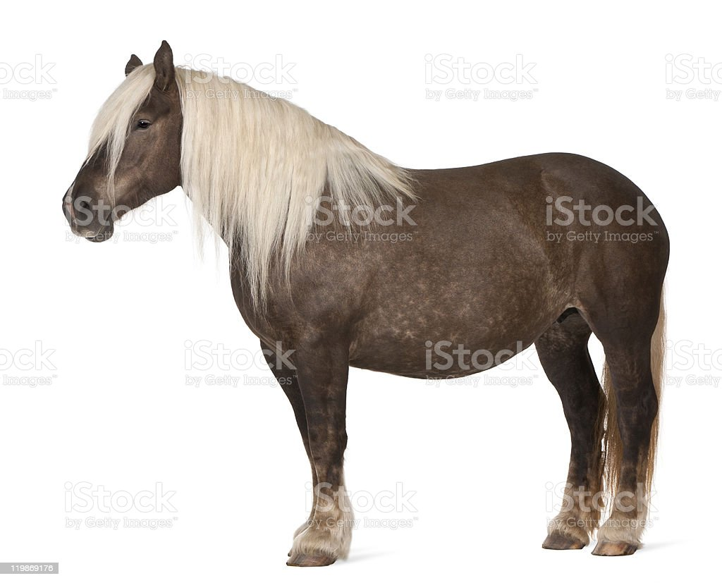Comtois horse, Equus caballus, 10 years old, white background. stock photo