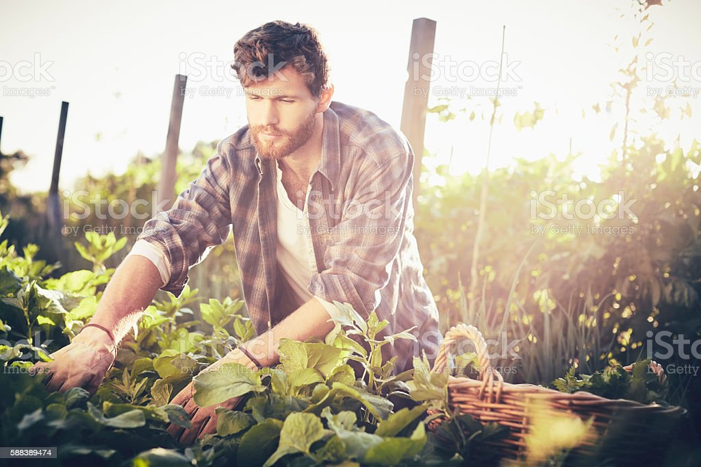 Concentrated man harvesting in garden on sunny day stock photo