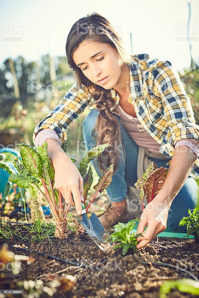 Concentrated young woman planting chards on field stock photo