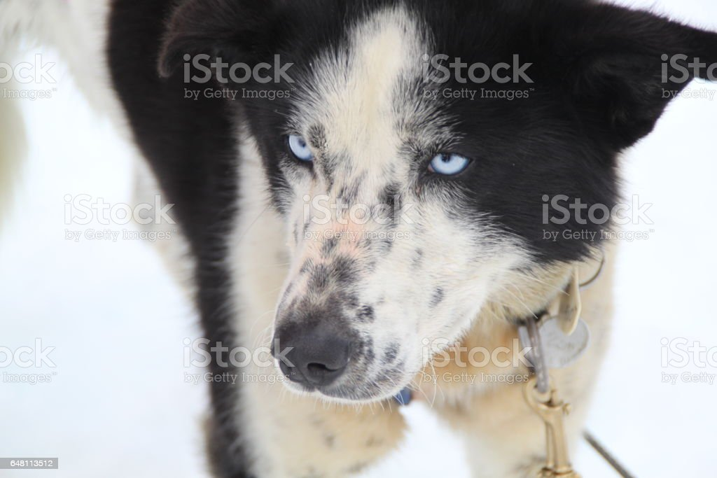 Concentration of a husky before sledding stock photo
