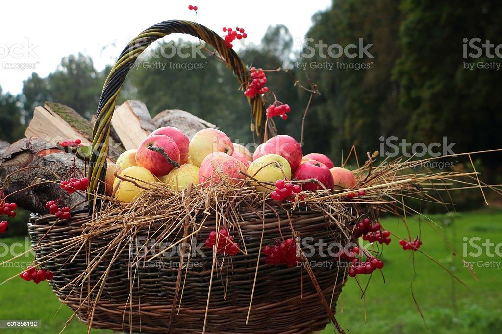 Concept of autumn - apples in basket , hay, arrowwood berries stock photo