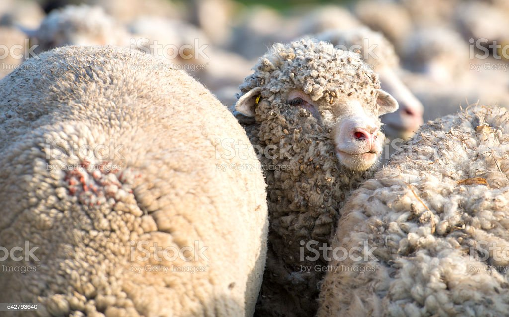 Concept of one sheep from herd looking at camera stock photo