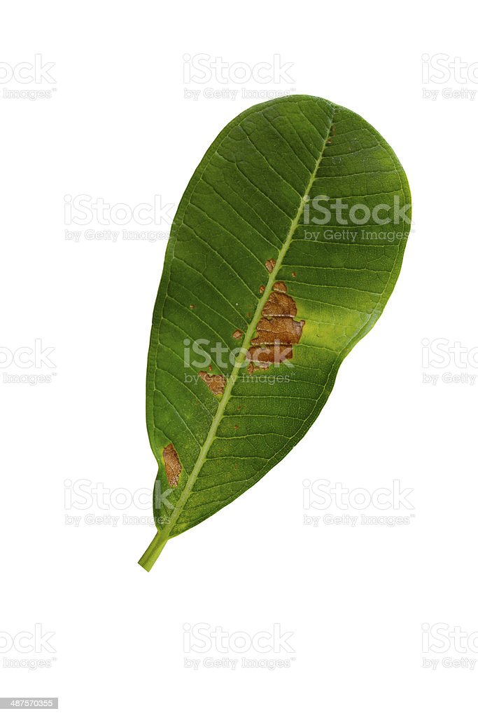 Concept of problem skin.( Rotten leaf isolated on white background)#1 stock photo