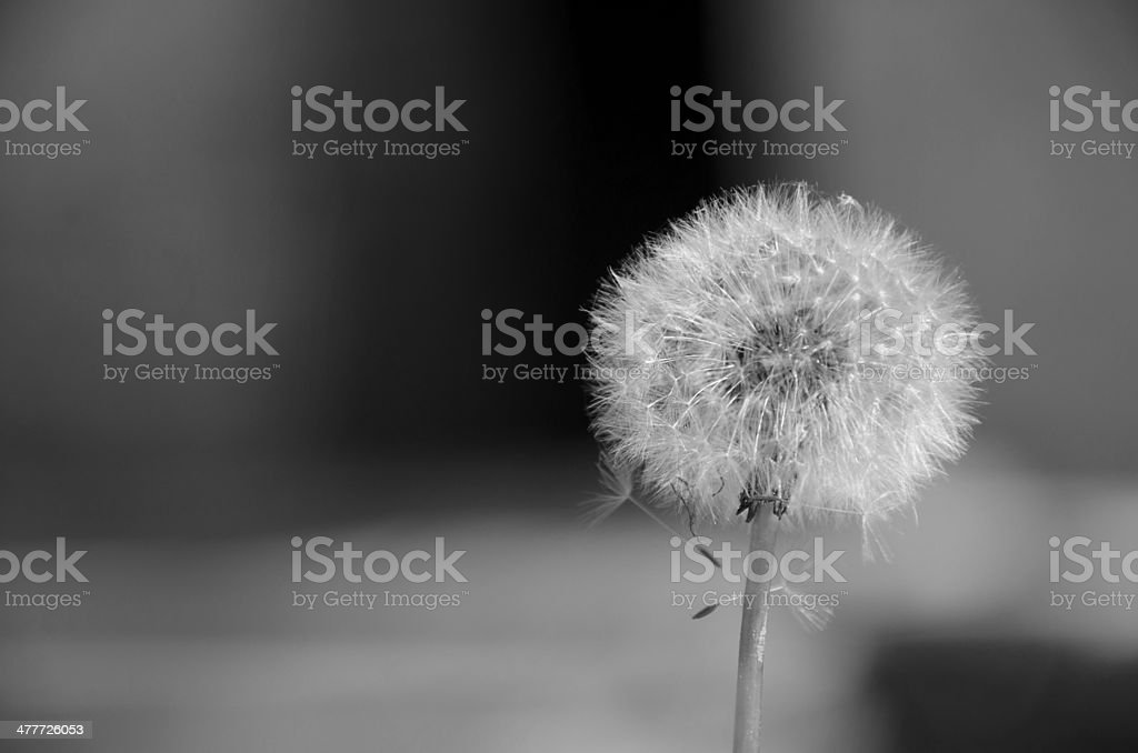 Concept with Dandelion Clock in B&W royalty-free stock photo