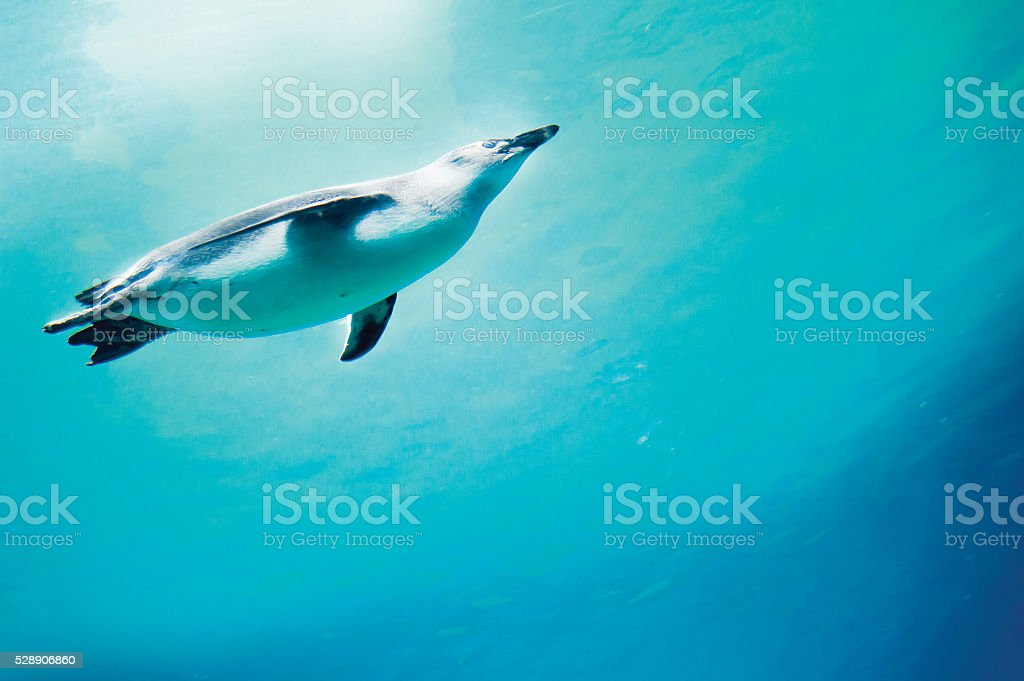 Conception of diving penguin plunged in blue water. stock photo
