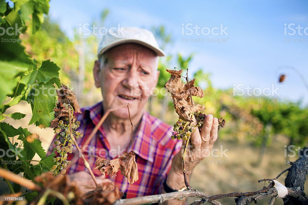 Concerned farmer checking grapevine stock photo
