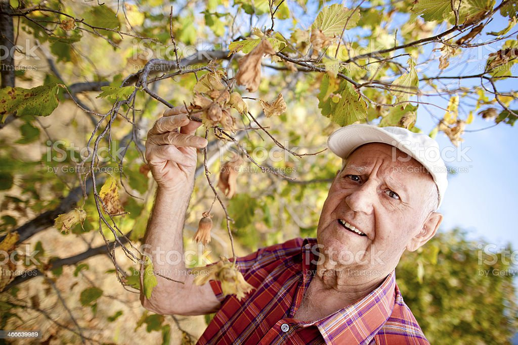 Concerned farmer checking hazelnuts royalty-free stock photo