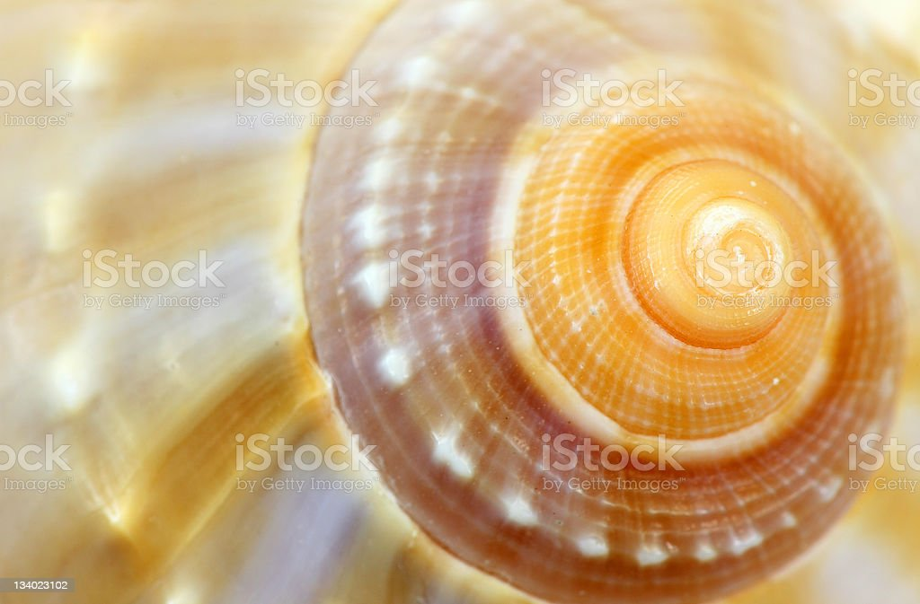 Conch stock photo