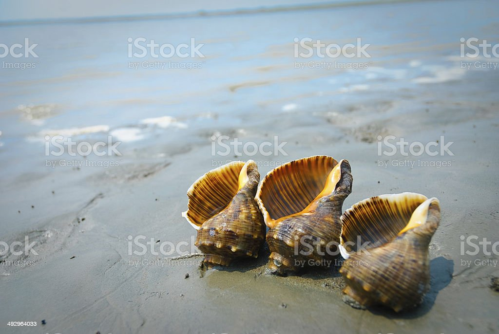 Conch shell at Beach royalty-free stock photo