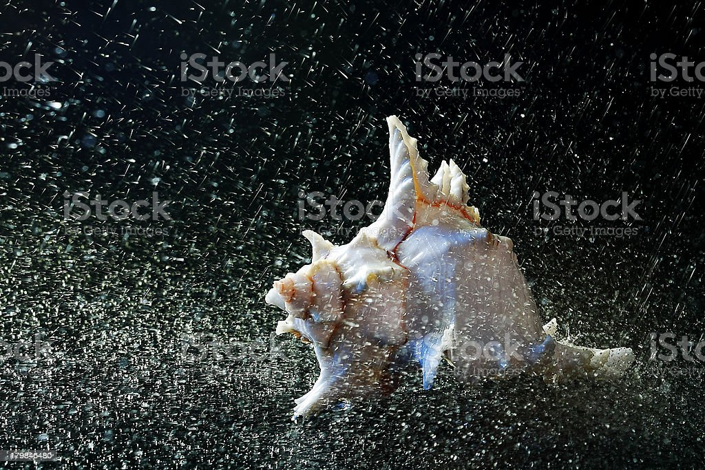 Conch shell in Rain royalty-free stock photo
