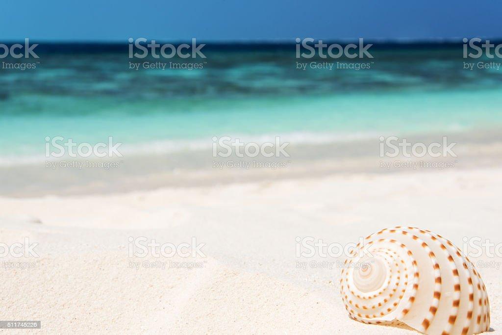 Conch shell on sandy beach stock photo