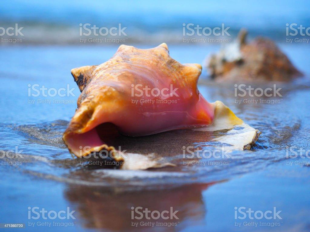 Conque marine sur la plage photo libre de droits