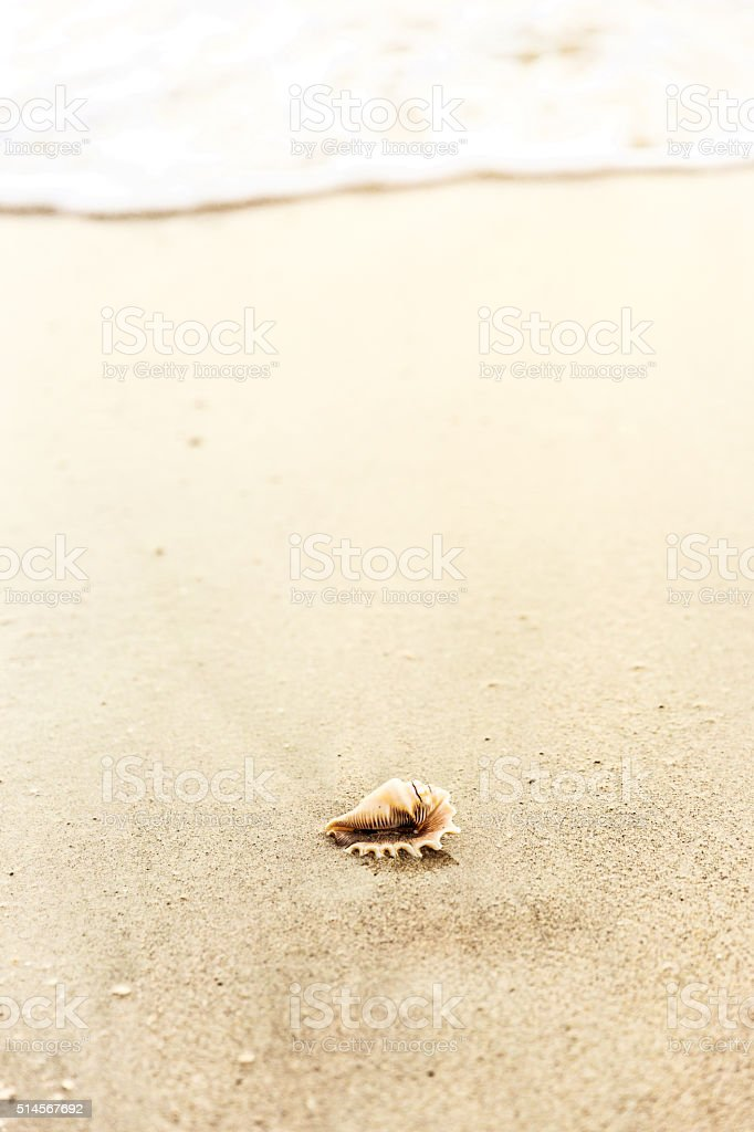 Conch Shell on the Beach stock photo