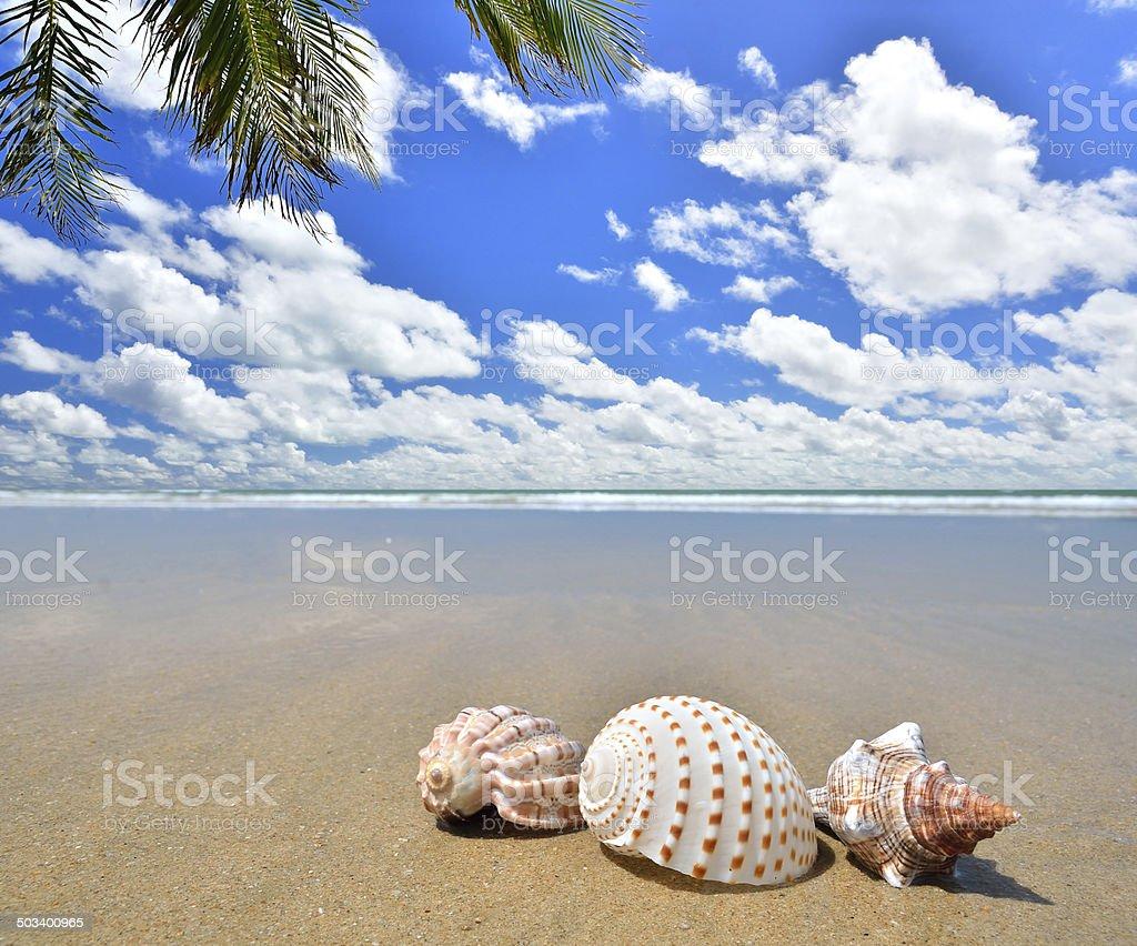 Conch shells on the tropical sandy beach stock photo